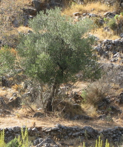 Old terraces of vines with olives